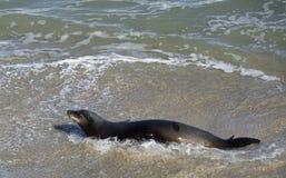Sea Lion at the Beach of La Jolla California Stock Photo