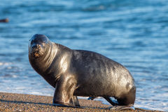 Sea lion on the beach in Patagonia. Patagonia female sea lion portrait seal on the beach Stock Photo