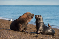Sea lion on the beach in Patagonia while kissing. Patagonia male and female sea lion portrait seal on the beach Stock Photo