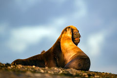 Sea lion on the beach in Patagonia while kissing. Patagonia male and female sea lion portrait seal on the beach Stock Photos