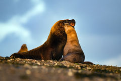 Sea lion on the beach in Patagonia while kissing. Patagonia male and female sea lion portrait seal on the beach Stock Image
