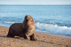 Sea lion on the beach in Patagonia. Patagonia male sea lion portrait seal on the beach Royalty Free Stock Photos