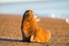 Sea lion on the beach in Patagonia. Patagonia male sea lion portrait seal on the beach Stock Images