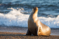 Sea lion on the beach in Patagonia Royalty Free Stock Image