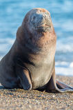 Sea lion on the beach in Patagonia. Patagonia sea lion portrait seal on the beach Royalty Free Stock Images