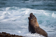 Sea lion on the beach. Patagonia sea lion portrait seal on the beach Stock Photo