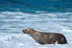 Sea lion on the beach. Patagonia sea lion portrait seal on the beach Stock Images