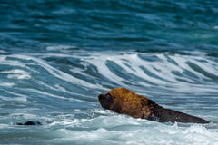 Sea lion on the beach. Patagonia sea lion portrait seal on the beach Royalty Free Stock Images
