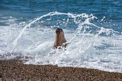 Sea lion on the beach Royalty Free Stock Photo