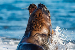Sea lion on the beach in Patagonia. Patagonia sea lion portrait seal while fighting on the beach Royalty Free Stock Images