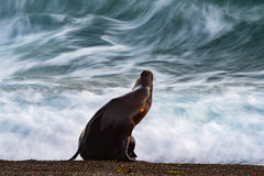 Sea lion on the beach. Patagonia sea lion portrait seal on the beach move effect Stock Photos
