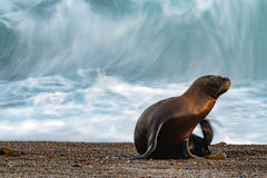 Sea lion on the beach. Patagonia sea lion portrait seal on the beach move effect Royalty Free Stock Image