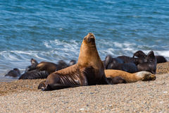 Sea lion on the beach Royalty Free Stock Photography