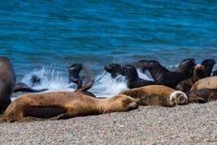 Sea lion on the beach Stock Photos