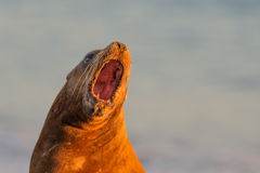 Sea lion on the beach in Patagonia. Patagonia sea lion portrait seal while roaring on the beach Royalty Free Stock Photo