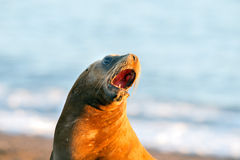 Sea lion on the beach in Patagonia. Patagonia sea lion portrait seal while roaring on the beach Stock Images
