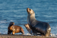 Sea lion on the beach in Patagonia Stock Photo