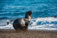 Sea lion on the beach in Patagonia Stock Photography