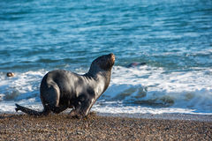 Sea lion on the beach in Patagonia Stock Photos