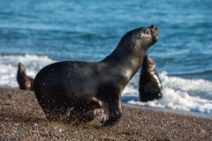 Sea lion on the beach in Patagonia Royalty Free Stock Images