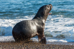 Sea lion on the beach in Patagonia Stock Image