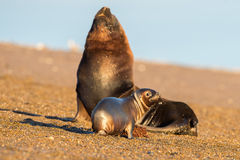 Sea lion on the beach in Patagonia Royalty Free Stock Photography