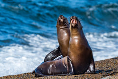 Sea lion on the beach in Patagonia while roaring. Patagonia male and female sea lion portrait seal on the beach Royalty Free Stock Photography