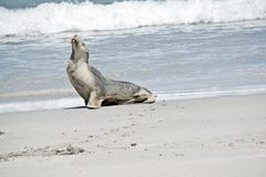 Sea lion on the beach. This is a side view of a sea lion royalty free stock image