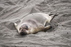 Sea Lion at Beach Royalty Free Stock Images