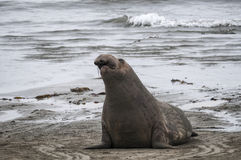 Sea Lion at Beach Royalty Free Stock Photos