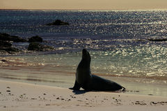 Sea Lion on a Beach, sunset Royalty Free Stock Photos