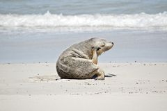 Sea lion on the beach. The sea lion is using his flipper to scratch his head royalty free stock images