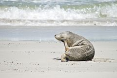 Sea lion on the beach. The sea lion is using his flipper to scratch his head royalty free stock photography