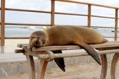 Sea lion on a bench, Santa Cruz Island, Galapagos. Sea lion on a bench in Puerto Ayora, Santa Cruz Island, Galapagos Stock Photo