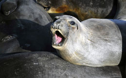 Sea Lion, Big Sur, California Stock Photography