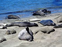 The sea lion of Big Sur - California Royalty Free Stock Photos