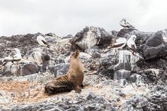 Sea lion and birds of the Galapagos basking on the beach royalty free stock photos
