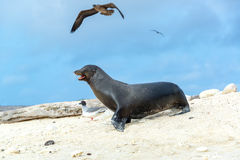 Sea Lion and Birds Royalty Free Stock Photo
