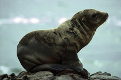 Sea Lion at black lava field Royalty Free Stock Photography