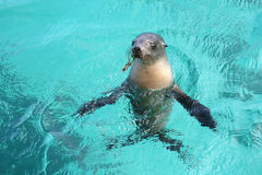 Sea lion in blue and transparent water. In a shallow, blue and transparent water, a sea lion stands motionless, head out of the water. The scene takes place on Stock Photos
