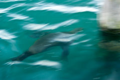 Sea Lion Blur Royalty Free Stock Images