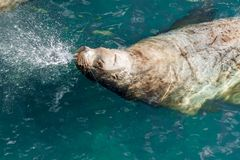 Sea lion breath out on water surface. Sea lion breath out swimming on water surface stock photo