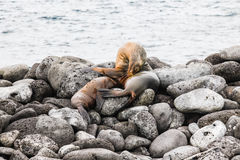 Sea lion with breeding Stock Photography