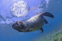 Sea lion with bubble ring Royalty Free Stock Photo