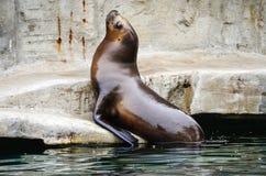 Sea lion. Captured on a large boulder enjoying the sun Stock Image