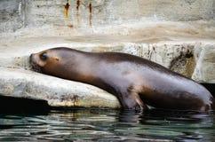 Sea lion. Captured on a large boulder enjoying the sun Stock Photography