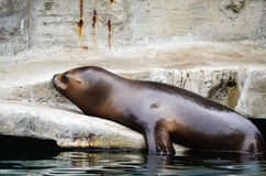 Sea lion. Captured on a large boulder enjoying the sun and posing at the camera Stock Photography