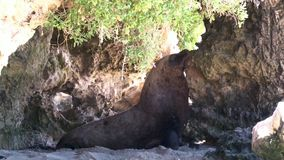 Sea lion on a cave. A medium shot of a sea lion on a cave stock video