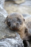 Sea Lion Child. Galapagos Young Sea Lions waiting for mother Royalty Free Stock Photography