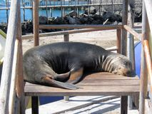Sea Lion in children's play equipment, San Cristobal, Galapagos Islands. Sea Lion lying in children's play equipment, boulevard San Cristobal, Galapagos Islands stock photos